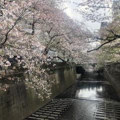 目黒川の並木桜。
